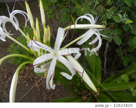 海岸に咲く白い繊細なハマユウの花 32623820