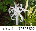 海岸に咲く白い繊細なハマユウの花 32623822