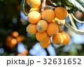 ビワ 常緑高木 枇杷の写真 32631652
