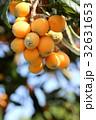 ビワ 常緑高木 枇杷の写真 32631653