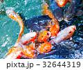 鯉、餌やり 32644319