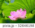 蓮 花 ピンクの写真 32646198