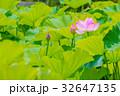 蓮の花 32647135