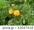 初夏から秋まで咲くマリーゴールドの黄色の花 32647418
