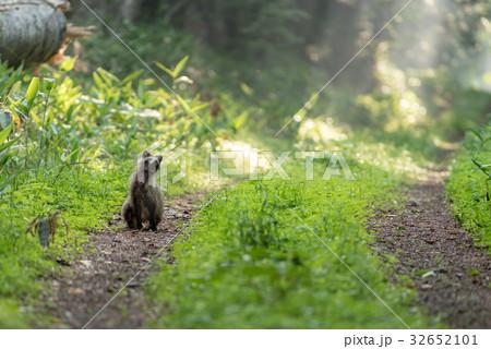 森を散歩するタヌキ2 32652101