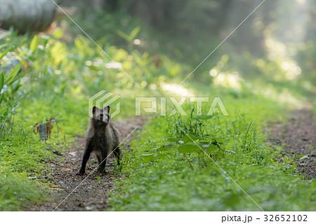 森を散歩するタヌキ3 32652102