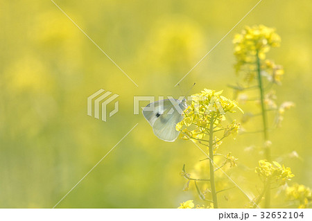 菜の花畑の蝶2 32652104