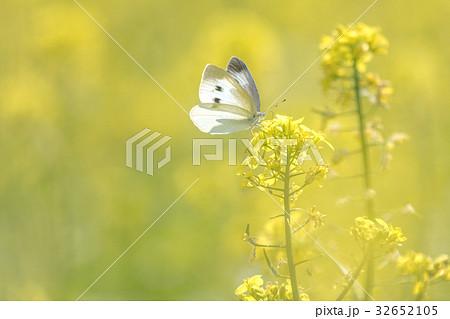 菜の花畑の蝶3 32652105