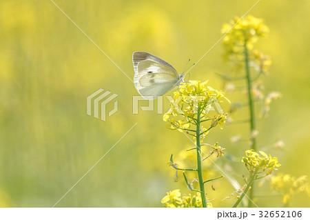 菜の花畑の蝶4 32652106