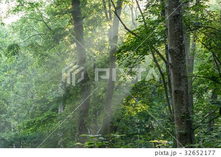 涼しい朝の森の光2 32652177