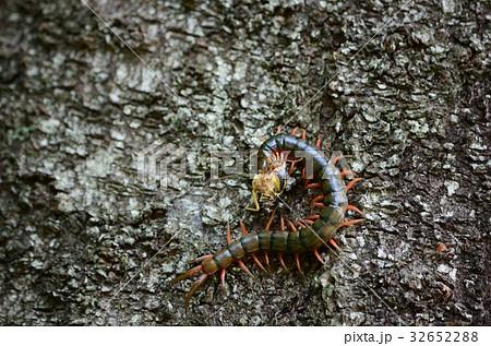 セミ・蝉を捕食しているトビズムカデ・鳶頭百足 32652288