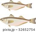 ハタハタ 鰰 魚のイラスト 32652754