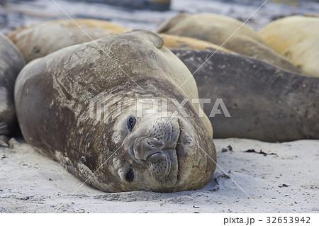 Southern Elephant Seals 32653942