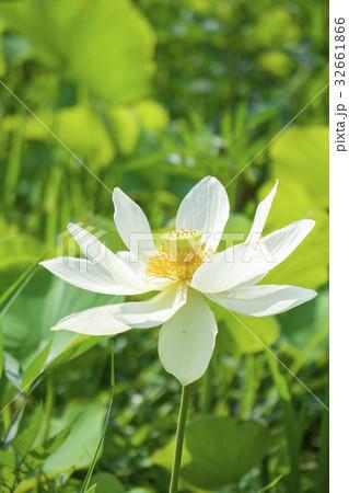 蓮の花 32661866