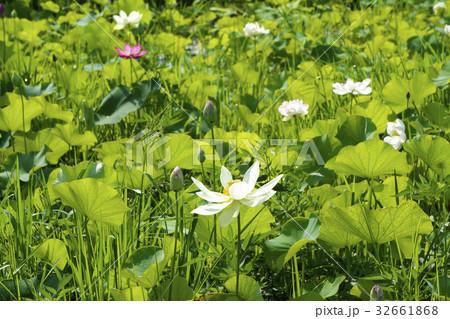 蓮の花 32661868
