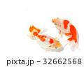 出雲なんきん〜島根県出雲地方で飼育されてきた金魚 32662568