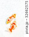 出雲なんきん〜島根県出雲地方で飼育されてきた金魚 32662575
