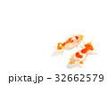 観賞魚 淡水魚 魚の写真 32662579