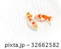 出雲なんきん〜島根県出雲地方で飼育されてきた金魚 32662582