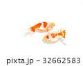 出雲なんきん〜島根県出雲地方で飼育されてきた金魚 32662583