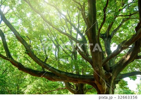 深い森の大きな木 32663356