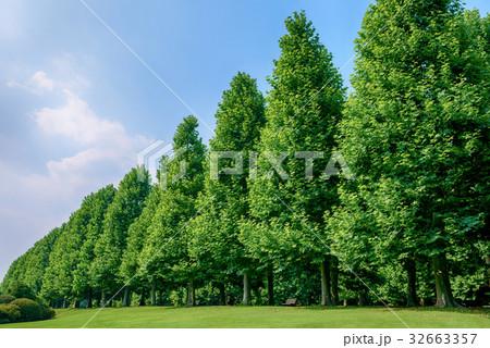 プラタナスの木々 32663357