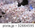 桜 春 花の写真 32664595