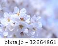 桜 春 花の写真 32664861