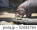 天王寺動物園のカバ 32683784