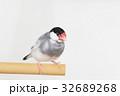 桜文鳥のオス 32689268