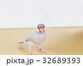 シルバー文鳥のメス 32689393