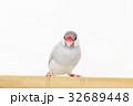 シルバー文鳥のメス 32689448