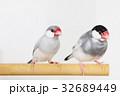 文鳥のつがい 32689449