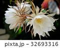 月下美人 サボテン 花の写真 32693316