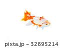 出雲なんきん〜島根県出雲地方で飼育されてきた金魚 32695214