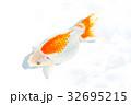 出雲なんきん〜島根県出雲地方で飼育されてきた金魚 32695215