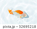 出雲なんきん〜島根県出雲地方で飼育されてきた金魚 32695218