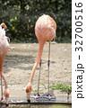 ベニイロフラミンゴ フラミンゴ 鳥の写真 32700516