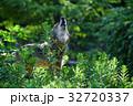 【動物】タイリクオオカミ(4) 32720337
