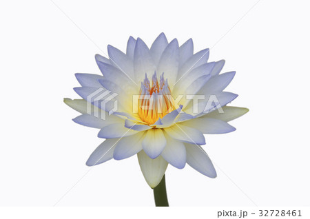 Waterlily or lotus flower isolated on white.の写真素材 [32728461] - PIXTA