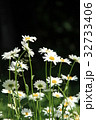 フランス菊 花 白の写真 32733406
