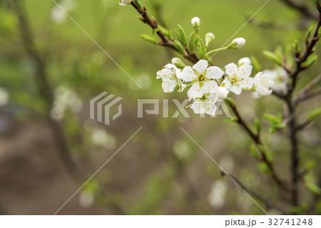 白いスモモの花 32741248