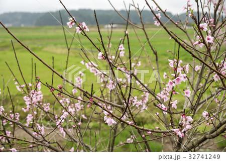 ピンクの桃の花 32741249
