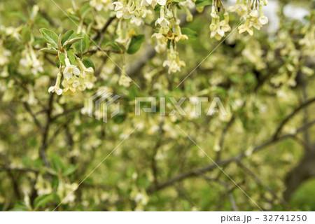 ダイオウグミの花花 32741250