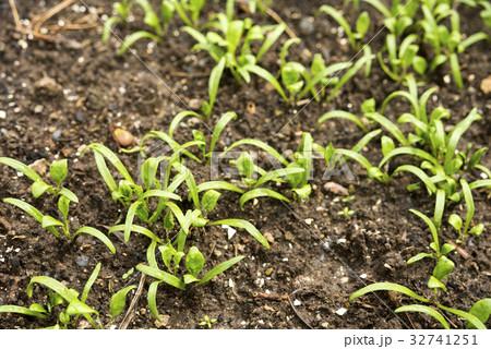 ホウレンソウの芽 32741251