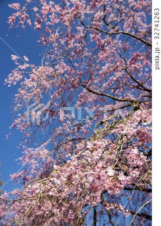 青空の下の枝垂れ桜 32741263