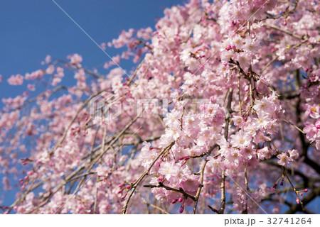 青空の下の枝垂れ桜 32741264