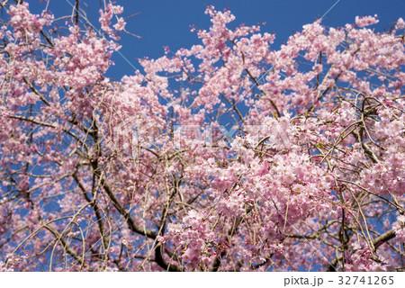 青空の下の枝垂れ桜 32741265