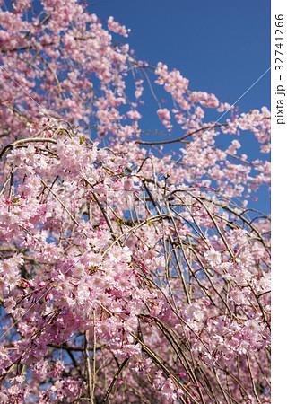 青空の下の枝垂れ桜 32741266