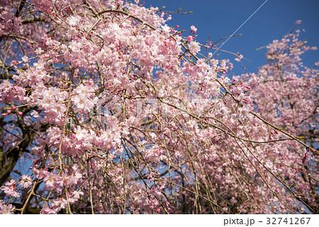 青空の下の枝垂れ桜 32741267